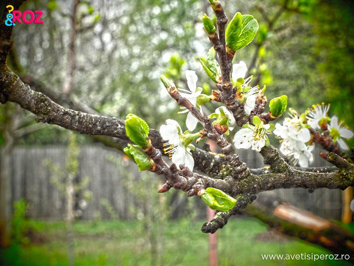 copac in floare