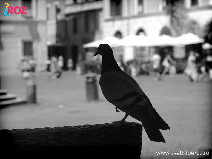porumbel in roma