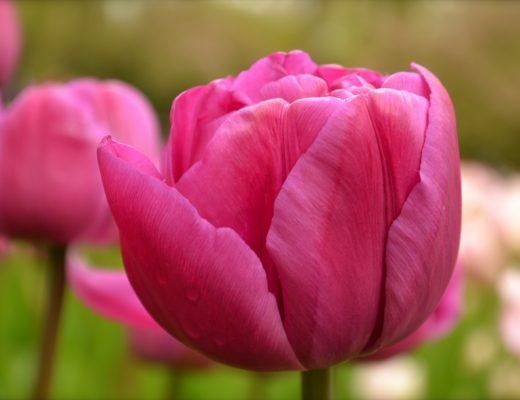 lalele roz