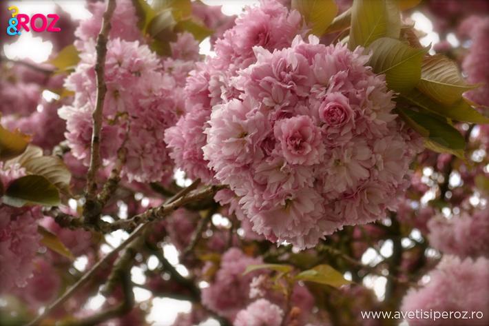 copac roz in floare