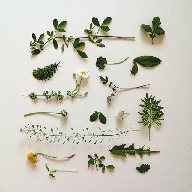 plante pentru ierbar