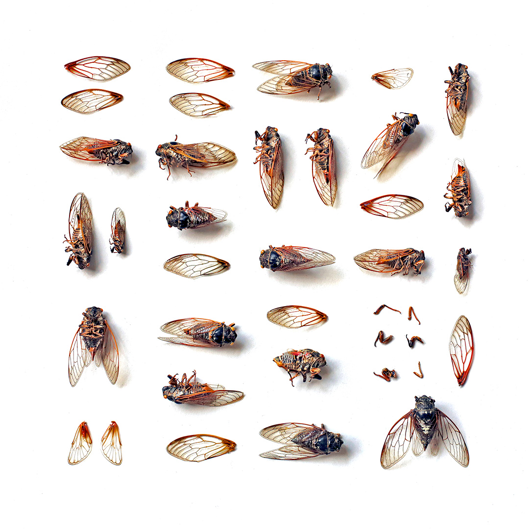 cicade din padurea cornetu